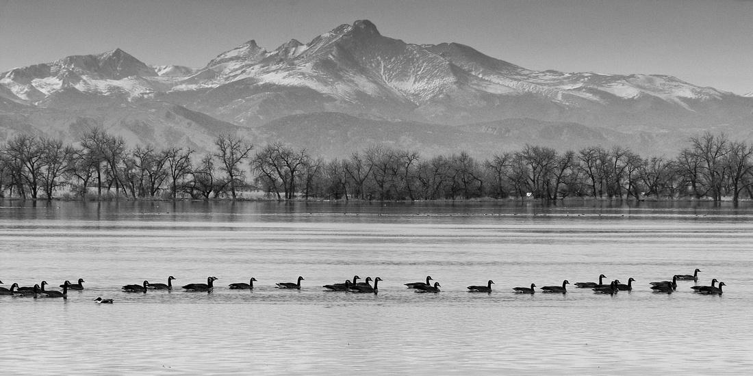 Canada Geese and Longs Peak