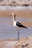 Watching Avocet