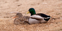 Mallard Couple Relaxing