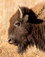 Bearded Bison